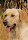 lick-creek-retrievers-stud-dog