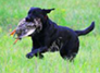 poker-lick-creek-retriever-black-lab