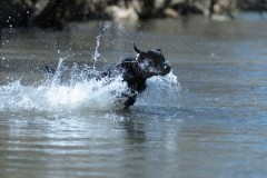 poker-splashing-water-retrieving-lick-creek-retrievers