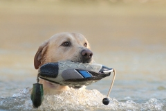 rowdy-lick-creek-retrievers-with-duck