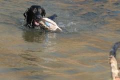 roxxe-in-water-lick-creek-retrievers