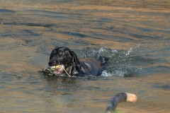 roxxe-in-water-retrieving-lick-creek-retrievers